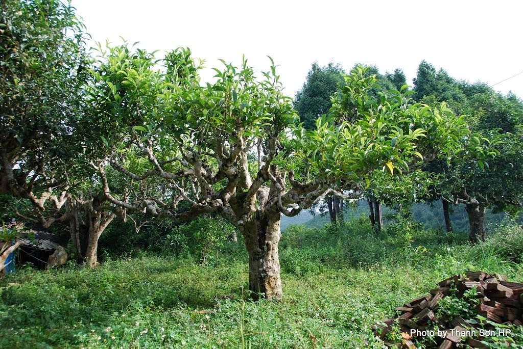 Trà bancha Shan Tuyết - Lá trà già 3 năm trên cây chè cổ thụ.